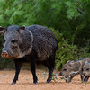 NAa384 Collared Peccary (Pecari tajacu) and Piglets, Edinburg, TX