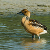 NAb7190 Fulvous Whistling-Ducks (Dendrocygna bicolor), Spring, Estero Llano Grande, Weslaco, TX