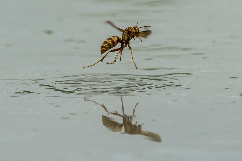 NAd345 Red & Yellow Wasp (Polistes bellicosus), Edinburg, TX