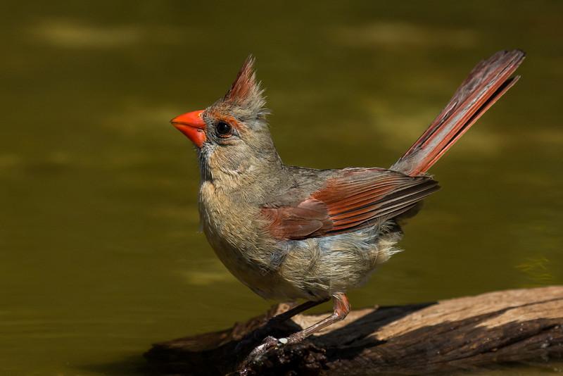 NAb7226 Northern Cardinal (Cardinalis cardinalis) Female, Edinburg, TX