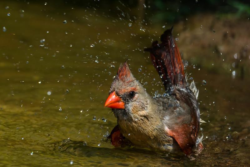 NAb7225 Northern Cardinal (Cardinalis cardinalis) Bathing, Female, Edinburg, TX