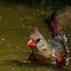 NAb7225 Northern Cardinal (Cardinalis cardinalis) Bathing, Female, Edinburg, TX