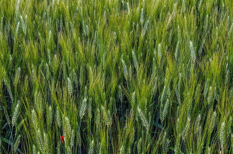 WAb150 - Wheat Field, Monteriggioni, Tuscany, Italy