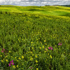 WAb175 - Rape Seed Plants, Chianti, Italy