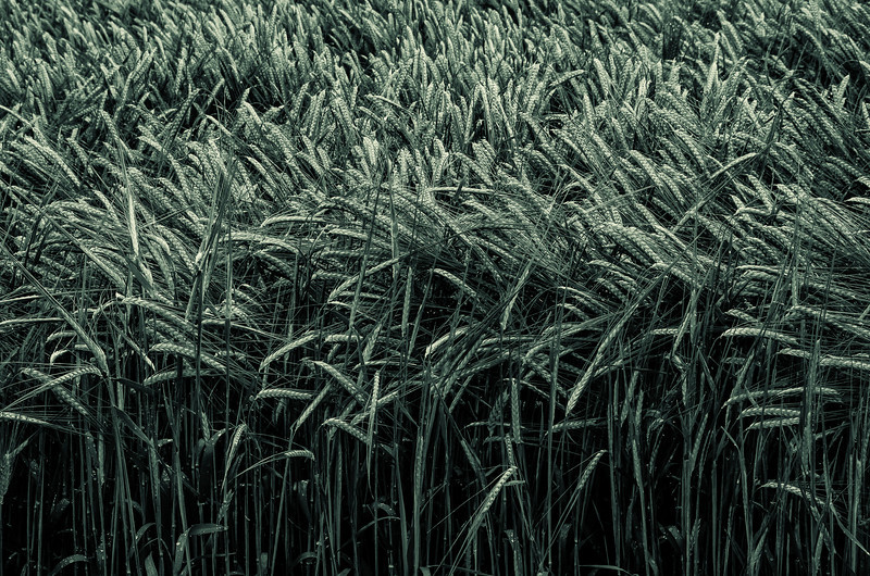 WAb83 - Wheat Field, Monteriggioni, Tuscany, Italy