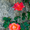 NBa583 - Roses, Monteriggioni, Tuscany, Italy