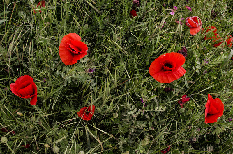 NBa471 - Poppies, Monteriggioni, Tuscany, Italy
