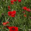 NBa514 - Poppies, Monteriggioni, Tuscany, Italy