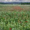 NBa599 - Poppies, Monteriggioni, Tuscany, Italy