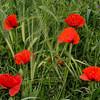 NBa525 - Poppies, Monteriggioni, Tuscany, Italy
