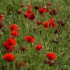 NBa546 - Poppies, Monteriggioni, Tuscany, Italy