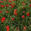NBa504 - Poppies, Monteriggioni, Tuscany, Italy