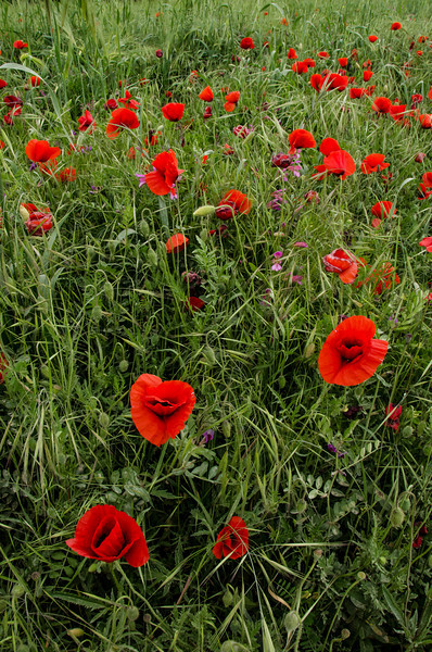 NBa462 - Poppies, Monteriggioni, Tuscany, Italy