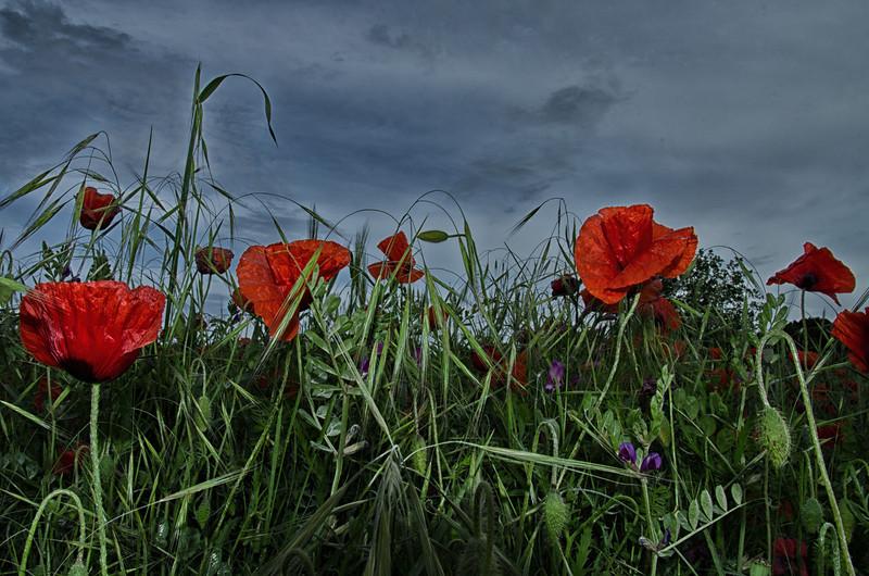 NBa485 - Poppies, Monteriggioni, Tuscany, Italy
