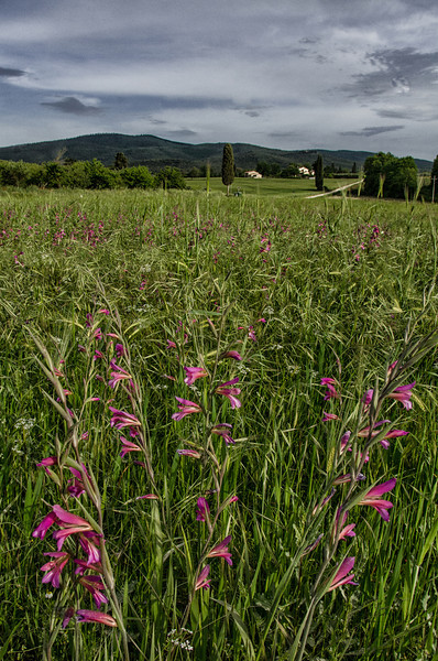 NBa552 - Pink Flowers, Monteriggioni, Tuscany, Italy