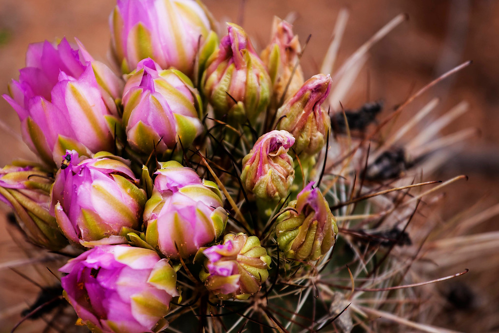 Barrel Cactus Flowers, Arches NP, Utah