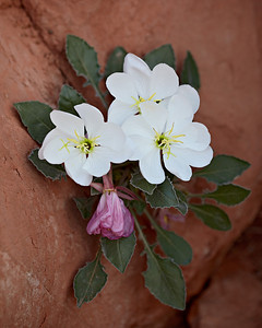 A tufted evening primrose (also known as dwarf evening primrose, Oenothera caespitosa) up against entrada sandstone. Taken in Arches National Park, Utah