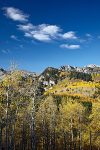 """Brighton Fall Foliage""  Quaking Aspen (Populus tremuloides) near Brighton, Utah. Taken on Big Cottonwood Canyon Road in the Wasatch-Cache National Forest, Utah, USA."
