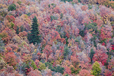 """Standing Out""  Fall foliage in Wasatch Mountain State Park, Utah, USA, featuring predominantly the Canyon Maple (Acer grandidentatum). The unique species is also known as the bigtooth maple."