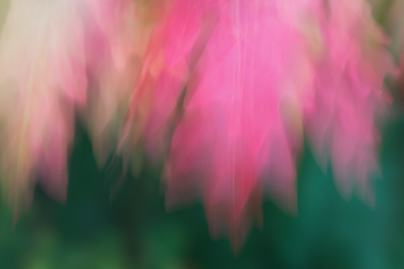 A long exposure, deliberate blur of the leaves of the canyon maple (Acer grandidentatum), also known as the bigtooth maple. Taken at Cascade Springs Interpretive Area, Uinta National Forest, Utah, USA.