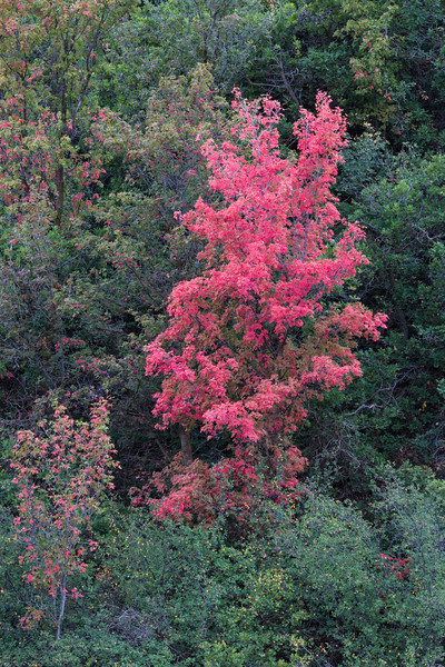 Fall color of the canyon maple (Acer grandidentatum), also known as the bigtooth maple. Taken in Wasatch Mountain State Park, Utah, USA.