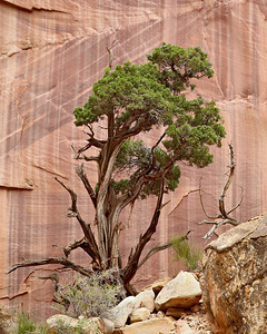 """Dance With Me, Little One""  Trees high up on the wall of a side canyon. They appeared to be dancing. Taken in the Capitol Gorge area of Capitol Reef National Park, Utah, USA."