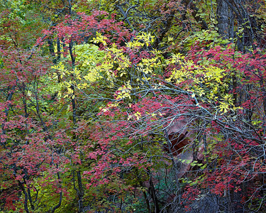 """Temple of Foliage""  Fall color in the area of the Temple of Sinawava along the Virgin River, Zion National Park, Utah, USA."