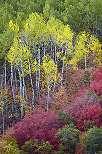 Fall foliage, a combination of the Canyon Maple (Acer grandidentatum) and Quaking Aspen (Populus tremuloides). The canyon maple is also known as the bigtooth maple.  Taken in Wasatch Mountain State Park, Utah, USA.