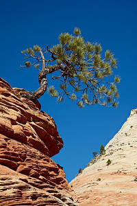 """Zion Juniper""  A signature tree in Zion National Park, Utah, USA. It is a Utah juniper (Juniperus osteosperma)."