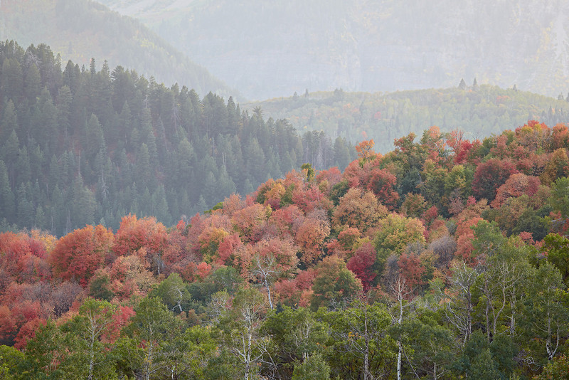 A view of the Wasatch Mountains and fall foliage, including scrub oak and the Canyon Maple (Acer grandidentatum). The unique species is also known as the bigtooth maple. Taken in the Uinta National Forest, Utah, USA.
