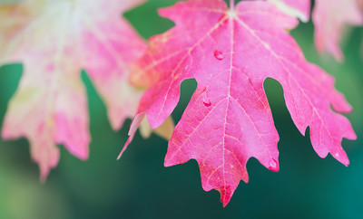 """Raindrops On Maples"""