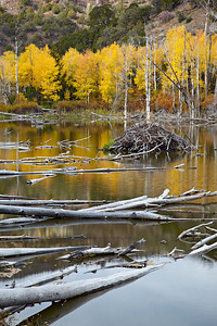 """Beaver Pond in Fall""  Quaking aspen (Populus tremuloides) and a beaver pond in the Fishlake National Forest, Utah, USA."