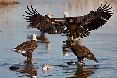 Several bald eagles gathered to eat carp in a wetlands area. Taken at Farmington Bay Waterfowl Management Area, in Farmington, Utah.