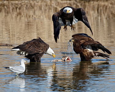 "Several bald eagles gathered to eat carp in a wetlands area. Taken at Farmington Bay Waterfowl Management Area, in Farmington, Utah.  This image is sized for printing ideally at 8 x 10""."