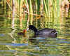 An American coot (Fulica americana) feeding her chick. Taken at Bear River Migratory Bird Refuge, Utah, USA.