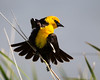 A displaying male yellow-headed blackbird (Xanthocephalus xanthocephalus). Taken at Bear River Migratory Bird Refuge, Utah, USA.