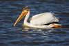 An American white pelican (Pelecanus erythrorhynchos) in a pond. Taken at Bear River Migratory Bird Refuge, Utah, USA.
