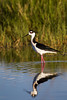 A black-necked stilt (Himantopus mexicanus) makes its way through a small pond. Taken at Bear River Migratory Bird Refuge, Utah, USA.