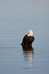 An adult bald eagle. Taken at Farmington Bay Waterfowl Management Area, in Farmington, Utah.