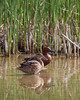 A pair of cinnamon teal (Anas cyanoptera). Taken at Bear River Migratory Bird Refuge, Utah, USA.