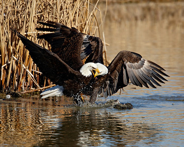 """Eagle Altercation III""  Two adult bald eagles in an altercation over a fish. Taken at Farmington Bay Waterfowl Management Area, in Farmington, Utah.  This image is sized for printing ideally at 8 x 10""."