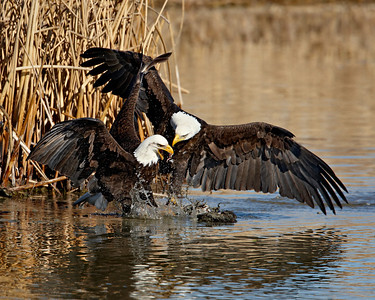 """Eagle Altercation II""  Two adult bald eagles in an altercation over a fish. Taken at Farmington Bay Waterfowl Management Area, in Farmington, Utah.  This image is sized for printing ideally at 8 x 10""."