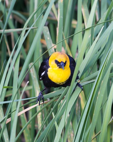 A yellow-headed blackbird (Xanthocephalus xanthocephalus). Taken at Bear River Migratory Bird Refuge, Utah, USA.