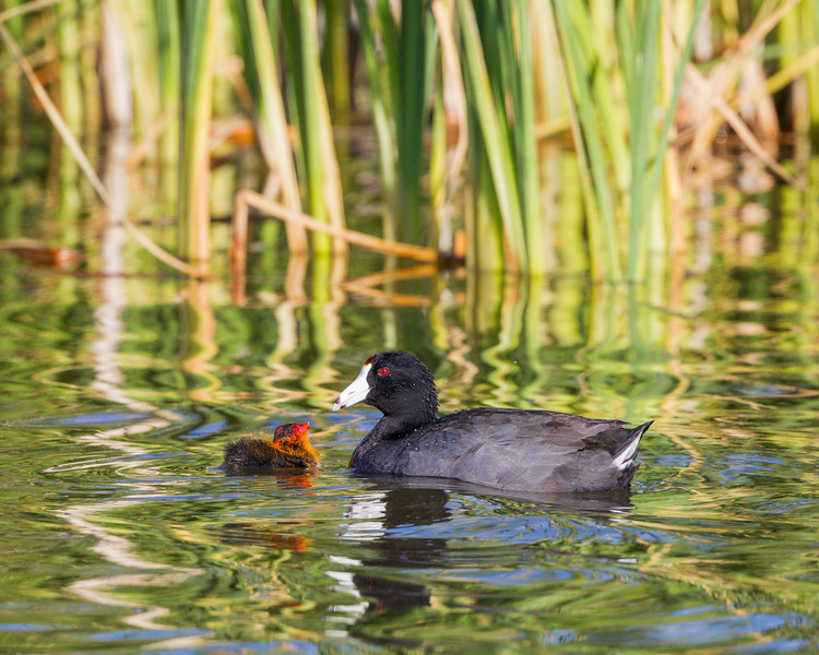 An American coot (Fulica americana) chick looks expectantly at its parent. Taken at Bear River Migratory Bird Refuge, Utah, USA.