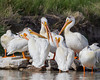 American white pelicans (Pelecanus erythrorhynchos) preen and sleep on Bear River. Taken at Bear River Migratory Bird Refuge, Utah, USA.