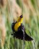 A yellow-headed blackbird (Xanthocephalus xanthocephalus). Taken at Bear River Migratory Bird Refuge, Utah, USA.