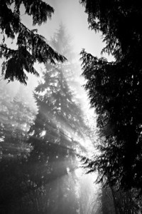 """Foglight""  Rays of light through the fog and pines of the rainforest. Taken near Chehalis in Lewis County, Washington, USA."