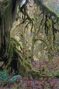 """Rainforest Growth""  The amazingly lush growth of the rainforest. Taken in the Hoh Rain Forest, Olympic National Park, Washington, USA."