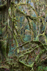 """Tangled Chaos""  The random chaos that is the rainforest. Taken in the Hoh Rain Forest, Olympic National Park, Washington, USA."