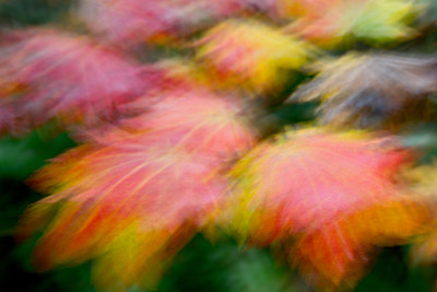 """Dance of Autumn""  A handheld, long exposure of maple leaves. Taken near Chehalis in Lewis County, Washington, USA."